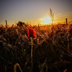 Dawn amongst the poppies